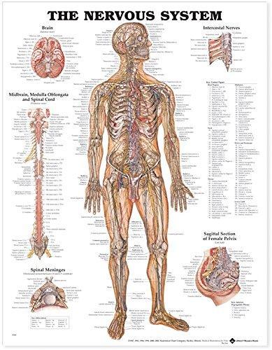 Nervous System Chart 51 x 66 cm, Each