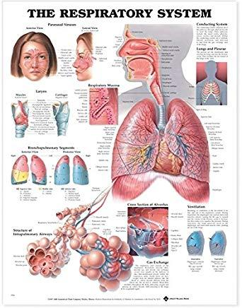 Respiratory System Chart 51 x 66 cm, Each