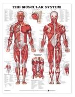 Muscular System Chart 51 x 66 cm, Each