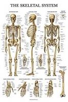Skeletal System Chart 51 x 66 cm, Each